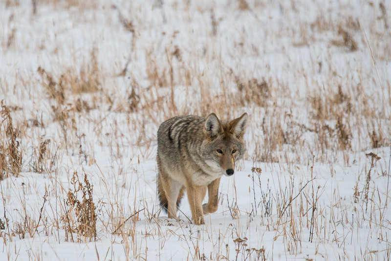 MCOY-12-174: Prowling Coyote