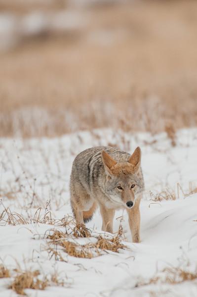 MCOY-12-50: Sneaky Coyote