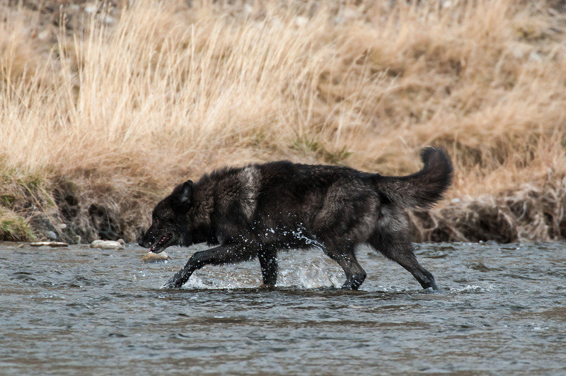 MwLF-12-97: Alpha male on the Gardiner River