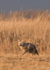 MCY-9003: Coyote on the hunt (Canis latrans)