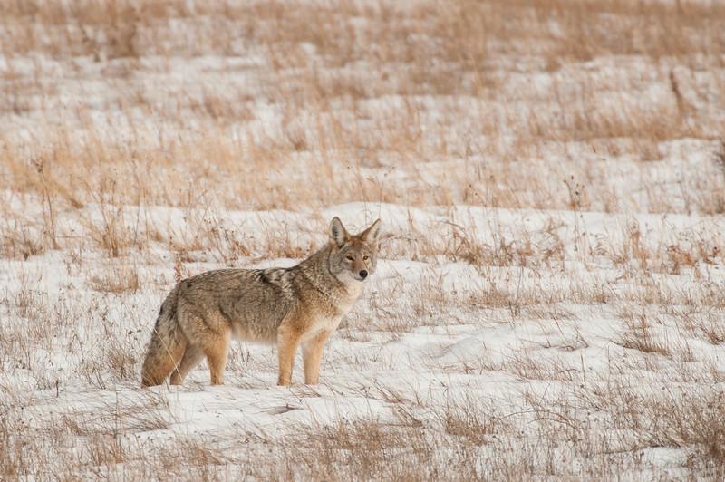 MCOY-12-21: Coyote in winter