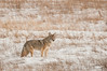 MCOY-12-21: Coyote in winter