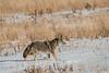 MCOY-12-115: Coyote in winter field