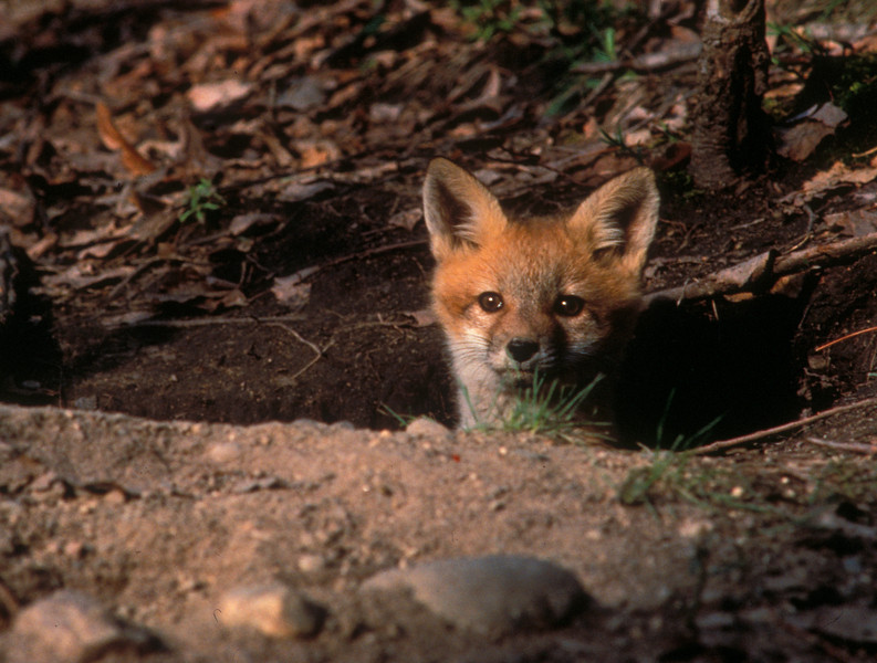 S0015 Red Fox peeking from den: (Vulpes vulpes) While sitting in my blind I was patiently waiting for someone from this family to appear from their mid-day nap. This little guy/gal was the first to check out this photographer sitting patiently in his make shift blind.