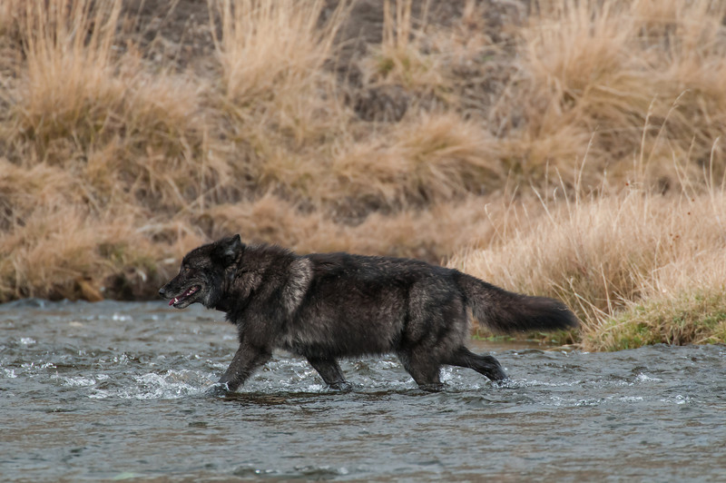 """MWLF-12-103: Male Gray Wolf crossing the Gardiner River--""""Canis lupus"""" (This is the Black phase Gray Wolf Alpha Male of the Canyon pack in Yellowstone National Park)"""