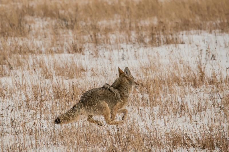 MCOY-12-135: Coyote on the run