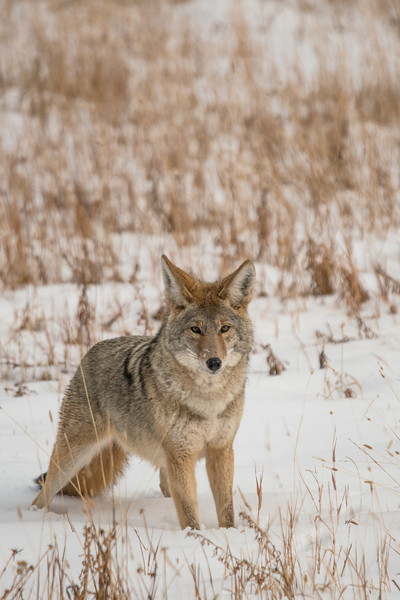 MCOY-12-212: Coyote on the alert