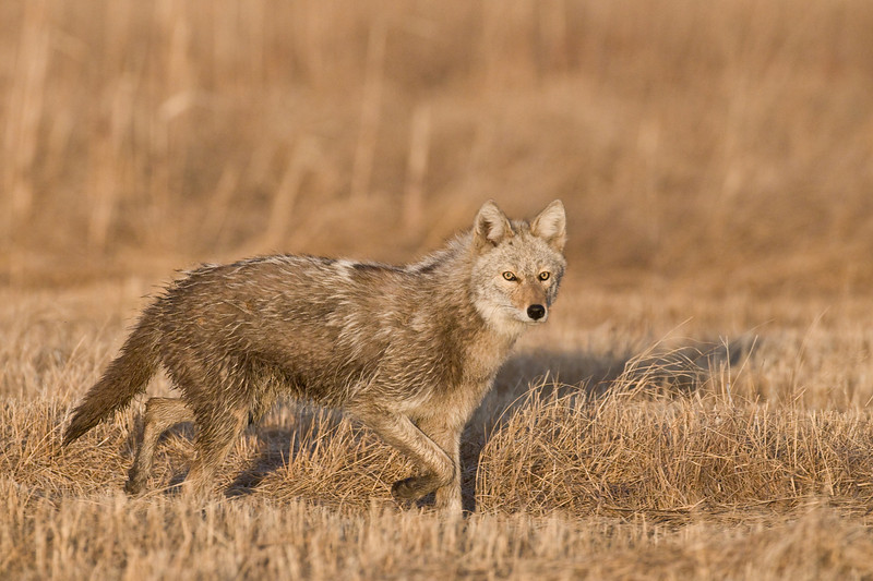 MCY-9018: Coyote at the Lek (Canis latrans)