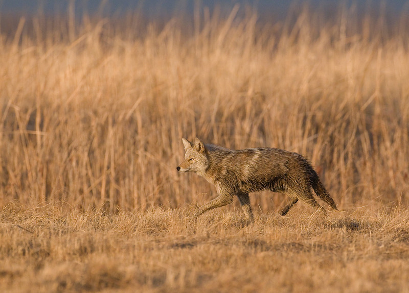 MCY-9004: Checking out the Prairie Chicken lek (Canis latrans)