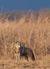 MCY-9002: Coyote at lek (Canis latrans)