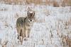 MCOY-12-182: Alert Coyote