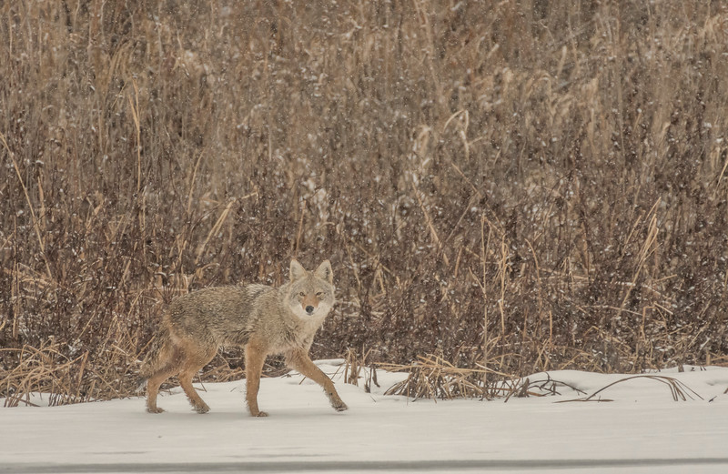 Coyote at Minnesota River
