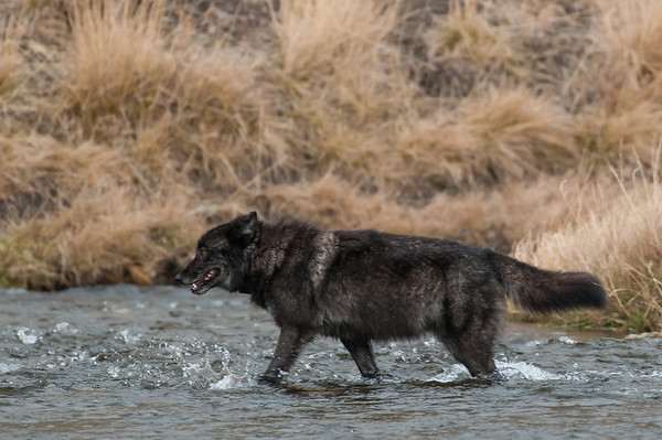 MWLF-12-104: Alpha Male Wolf