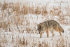 MCOY-12-164: Coyote on the hunt