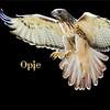 Cape Fear Raptor Rescue-44