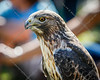 Cape Fear Raptor Rescue-31