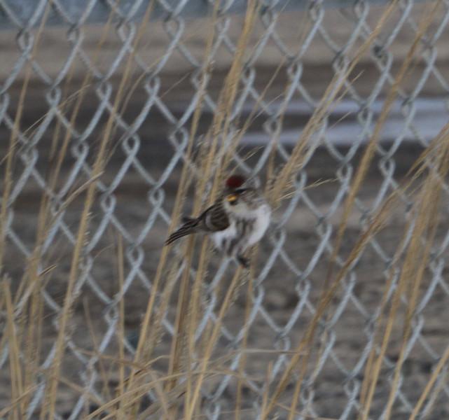 Tree sparrow ?