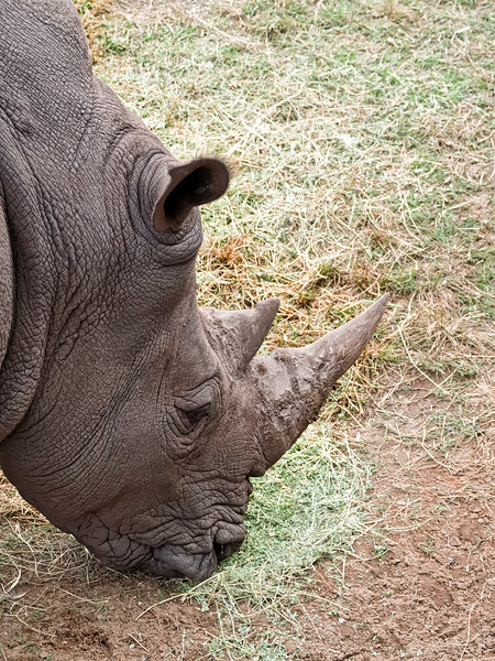 Southern White Rhinoceros at Jacksonville Zoo