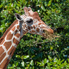 Lunchtime for Giraffe at Jacksonville Zoo