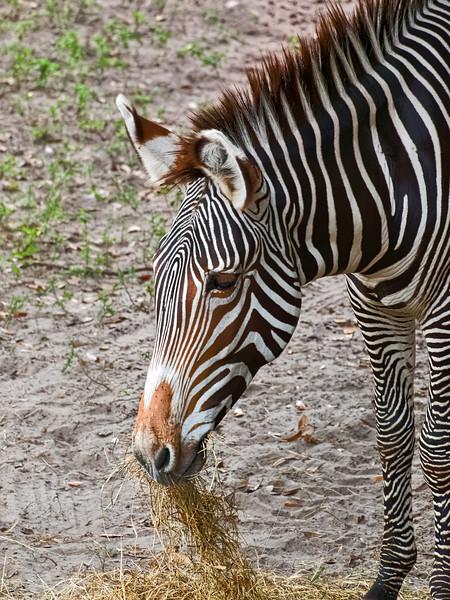 Grevy's Zebra at Jacksonville Zoo