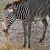 Grevy's Zebra at Jacksonville Zoo