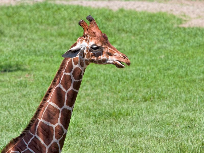 Giraffe at Jacksonville Zoo