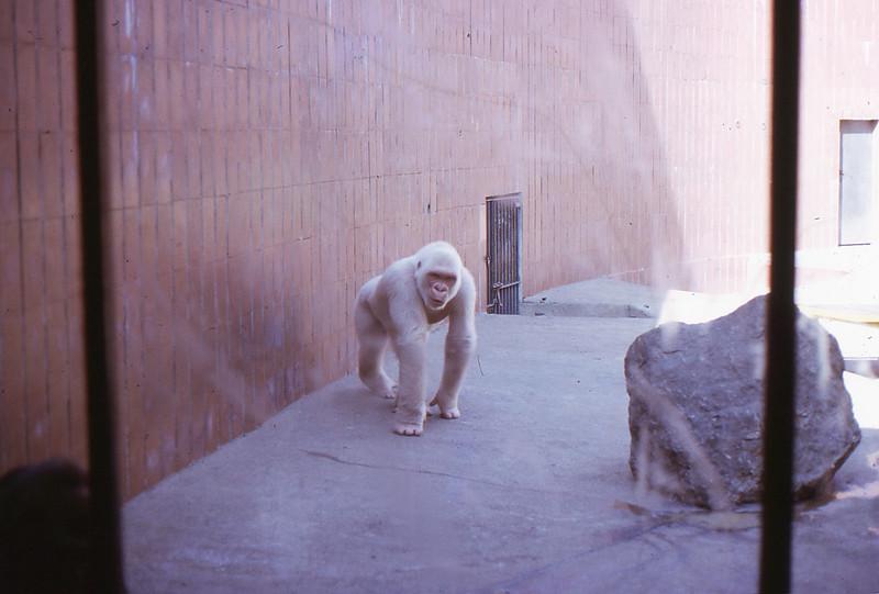 """Albino Gorilla """"Snowflake"""""""