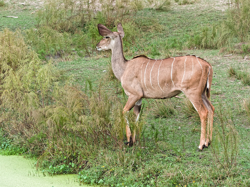 Greater Kudu at Jacksonville Zoo