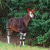 Okapi at Jacksonville Zoo