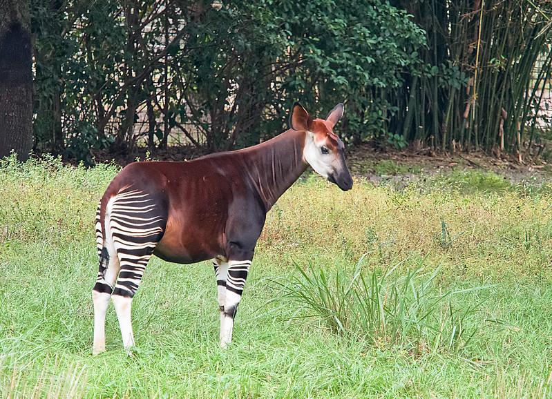 Okapi at Jacksonville Zoo