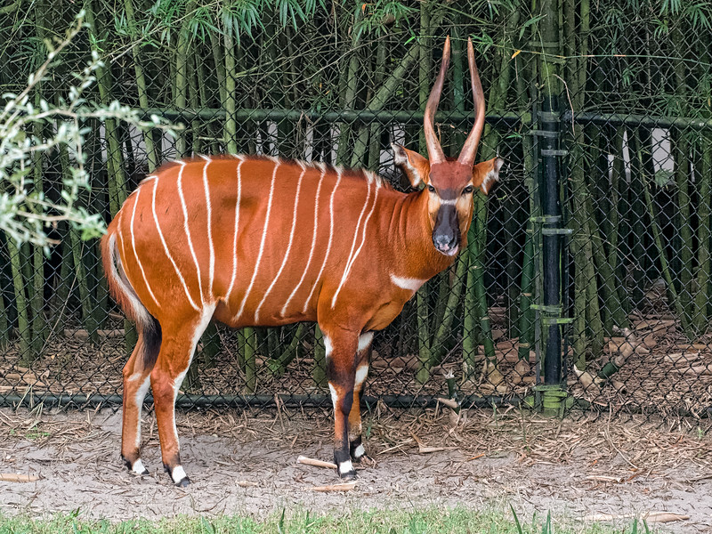Eastern Bongo at Jacksonville Zoo