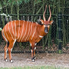Eastern Bongo at Jacksonville Zoo