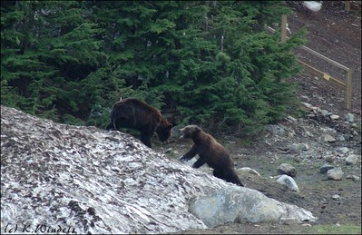 Grizzly Bears @ Grouse Mtn.