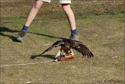 Red-tailed Hawk covering up his 'prey' at Grouse Mtn show. (Pacific Northwest Raptors,  Duncan, BC)