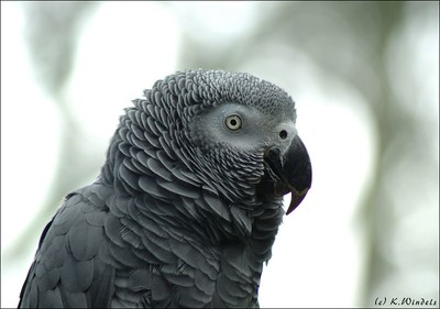 Rosie Congo African grey parrot Bloedel Conservatory,  Vancouver, BC
