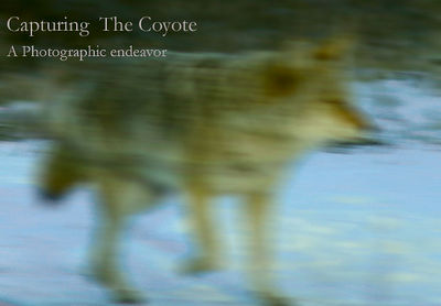 Capturing The  Coyote
