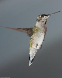 Hummingbird_20080825_0928