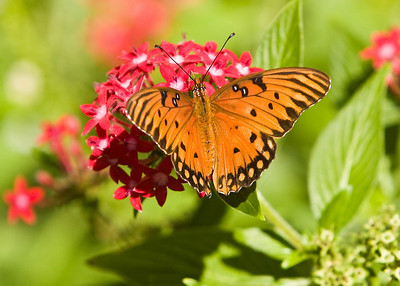 River_Forest_Butterfly_20081026_0018
