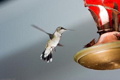 Hummingbird_20080825_0912