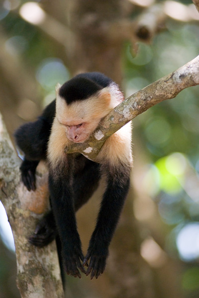 Capuchin Monkey hanging in a tree in the rainforest