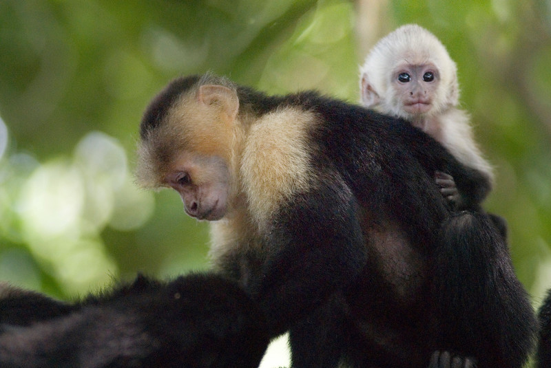 "Baby Capuchin monkey with its mother in the jungle. The capuchins are the group of New World monkeys classified as genus Cebus. Their name comes from their coloration, which resembles the cowls worn by the Capuchin order of Roman Catholic friars. Cebus is the only genus in subfamily Cebinae.<br /> <br /> The range of the capuchin monkeys includes Central America (Honduras) and middle South America (middle Brazil, eastern Peru, Paraguay).<br /> <br /> Capuchins generally resemble the friars of their namesake. Their body, arms, legs and tail are all darkly (black or brown) colored, while the face, throat and chest are white colored, and their head has a black cap. This general pattern varies from species to species, as well as among individuals within a species. They reach a length of 30 to 56 cm (12 - 22 inches), with tails that are just as long as the body. They weigh up to 1.3 kg (2 lb, 13 oz).<br /> <br /> Like most New World monkeys, capuchins are diurnal and arboreal. With the exception of a midday nap, they spend their entire day searching for food. At night they sleep in the trees, wedged between branches. They are undemanding regarding their habitat and can thus be found in many differing areas. Among the natural enemies of the capuchins are large falcons, cats and snakes.<br /> <br /> The diet of the capuchins is more varied than other monkeys in the family Cebidae. They are omnivores, eating not only fruits, nuts, seeds and buds, but also insects, spiders, bird eggs and small vertebrate. Capuchins living near water will also eat crabs and shells by cracking their shells with stones.<br /> <br /> Easily recognized as the ""organ grinder"" monkeys, capuchins are sometimes kept as pets, even when import of these animals is forbidden and in spite of assertions by some that monkeys are unsuitable as domestic animals. They are also used as service animals to aid paraplegics and people with spinal cord injuries. Zoos and circuses often keep capuchins as well. Sometimes they plunder fields and crops and are seen as troublesom"
