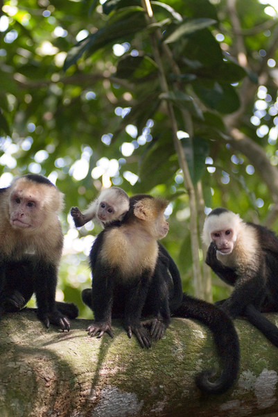 Capuchin monkey family sitting on a tree in the tropical  jungle and rainforest