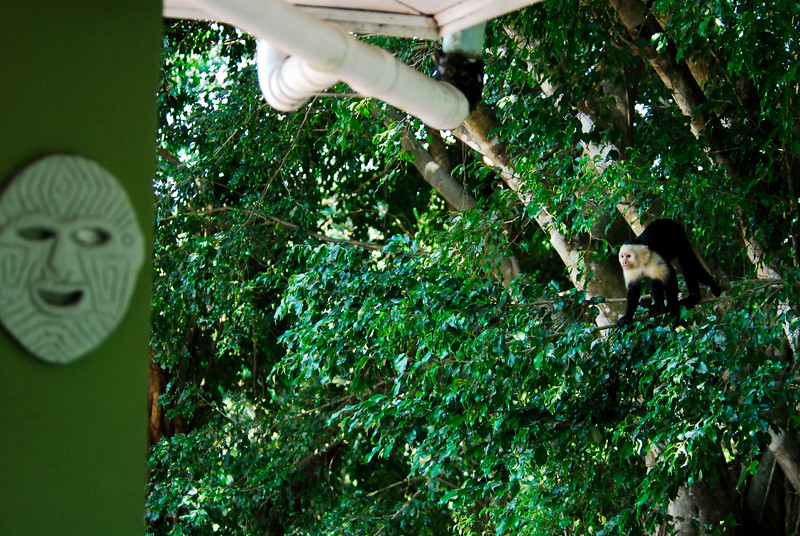 Capuchin Monkey at a hotel in Manuel Antonio National Park, Costa Rica