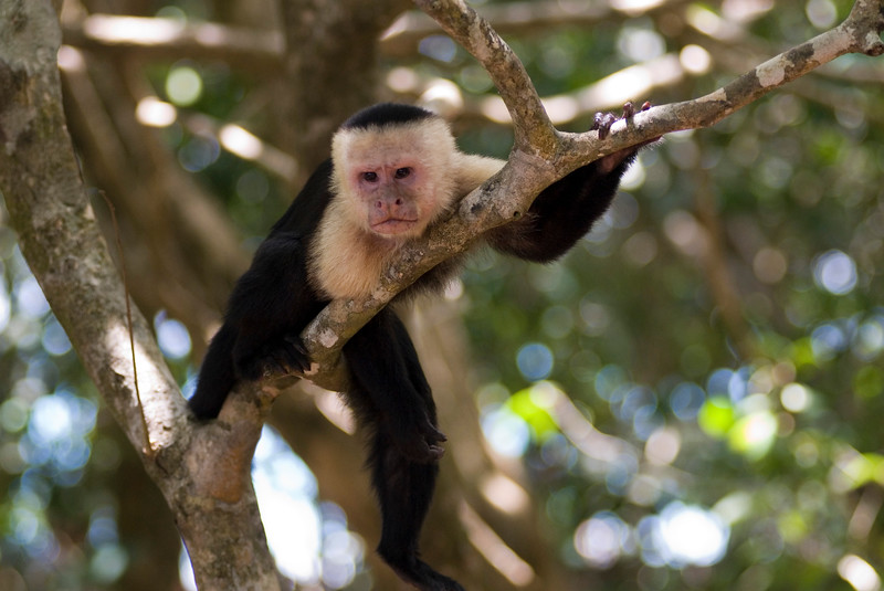 Lazy sleepy capuchin monkey lying in a tree