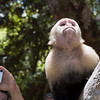 Capuchin monkey looking away from a tourist with a camera