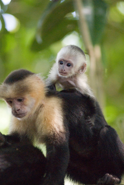 Cute baby capuchin monkey in the jungle