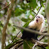 Baby capuchin monkey with a funny expression on its face