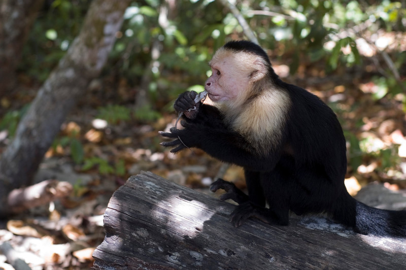 Capuchin eating a lizard