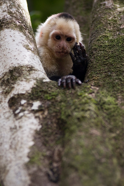 Capuchin Monkey eating bugs from inside a tree - licking its fingers