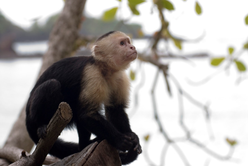 Capuchin Monkey on a beach